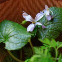 スミレとダイコンの花